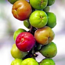 Semillas de Uva del mar (Coccoloba uvifera) 2.5 - 2