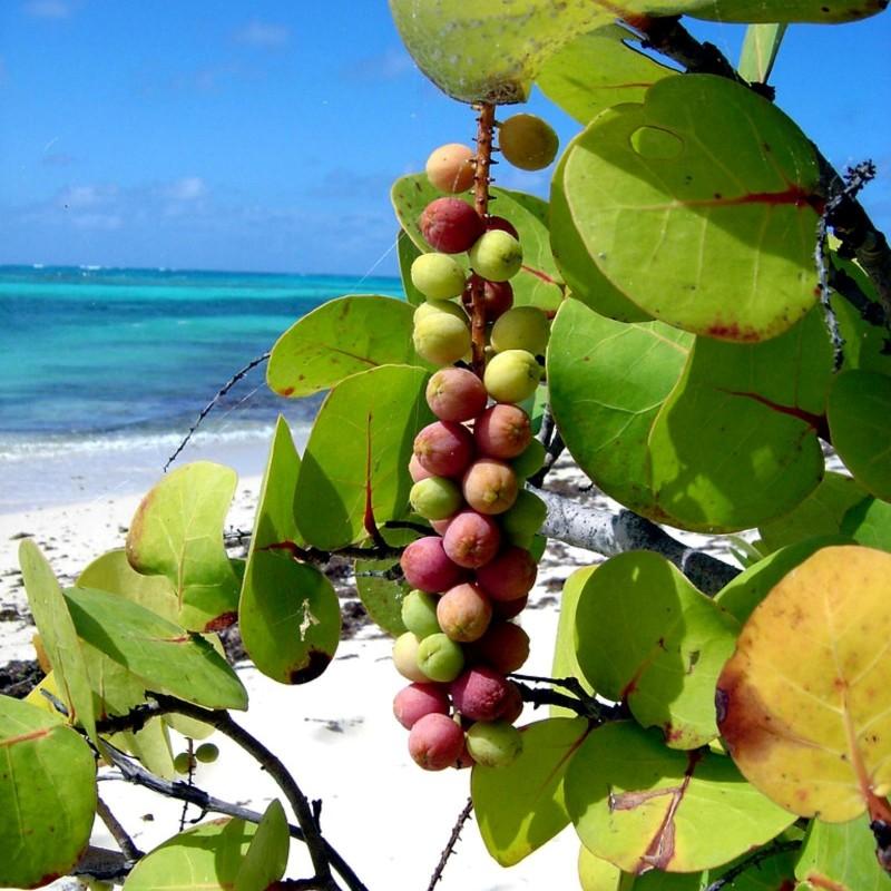Morsko Grozdje Seme (Coccoloba uvifera) 2.5 - 1