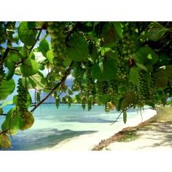 Semillas de Uva del mar (Coccoloba uvifera) 2.5 - 3