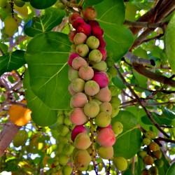 Semillas de Uva del mar (Coccoloba uvifera) 2.5 - 7