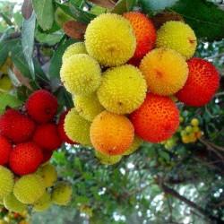 Semillas de Madroño frutos deliciosos (Arbutus Unedo) 1.75 - 2