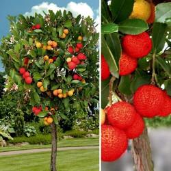Semillas de Madroño frutos deliciosos (Arbutus Unedo) 1.75 - 4
