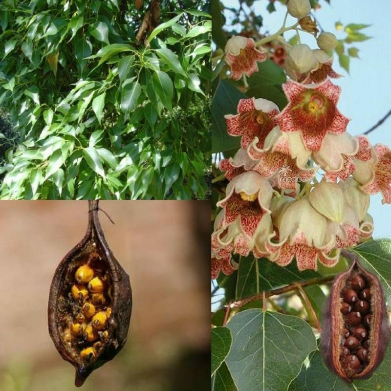 Bottle tree - Kurrajong Seeds (Brachychiton populneus) 1.95 - 1