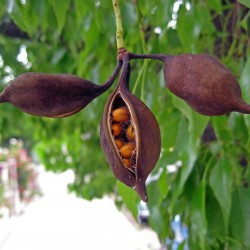 Bottle tree - Kurrajong Seeds (Brachychiton populneus) 1.95 - 4