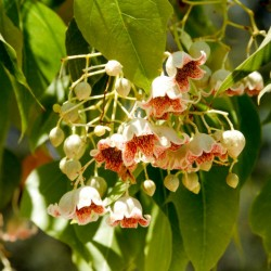 Bottle tree - Kurrajong Seeds (Brachychiton populneus) 1.95 - 5