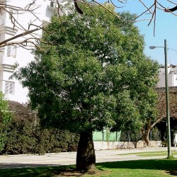Brachychiton populneus lacebark Kurrajong 10 Samen Flasche Baum