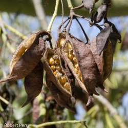 Flasa drvo - Kurrajong Seme (Brachychiton populneus) 1.95 - 6
