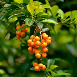 Golden Dewdrop Seeds...