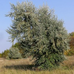 Semillas de Árbol del paraíso (Elaeagnus angustifolia) 2.95 - 3