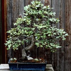 Semillas de Árbol del paraíso (Elaeagnus angustifolia) 2.95 - 4
