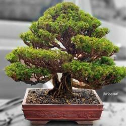 Sacred Japanese Cedar Seme Bonsai 1.5 - 1