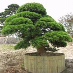 Σπόροι Κρυπτομέρια Ιαπωνική Bonsai 1.5 - 4