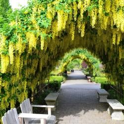 Zlatni Lanac Drvo Seme 1.95 - 1