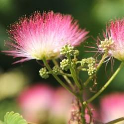 Graines Arbre à soie ou Mimosa de Constantinople 2.5 - 2
