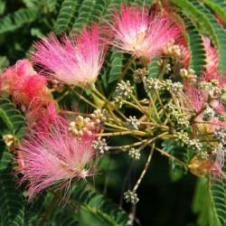 Seidenbaum, Seidenakazie, Schlafbaum Samen 2.5 - 5