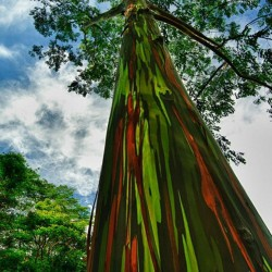 Rainbow Eucalyptus seeds 3.5 - 3