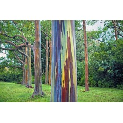 Regenbogen-Eucalyptus Samen, Rainbow Eucalyptus 3.5 - 6