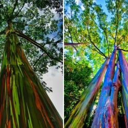 Regenbogen-Eucalyptus Samen, Rainbow Eucalyptus 3.5 - 7