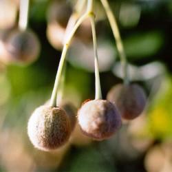 Semillas de árbol Tilia 1.85 - 1