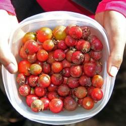 Erdbeer-Guave Samen 1.5 - 4