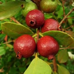 Strawberry Guava Seeds (Psidium cattleianum) 1.5 - 2