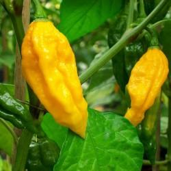 Fatalii Chili Seeds 2.5 - 2