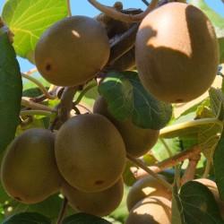 Semillas de Kiwi Amarillo Gold - Kiwi Golden - 25°C 1.75 - 2