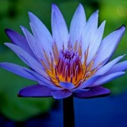 Indijski Lotos Seme mešovite boje (Nelumbo nucifera) 2.55 - 2