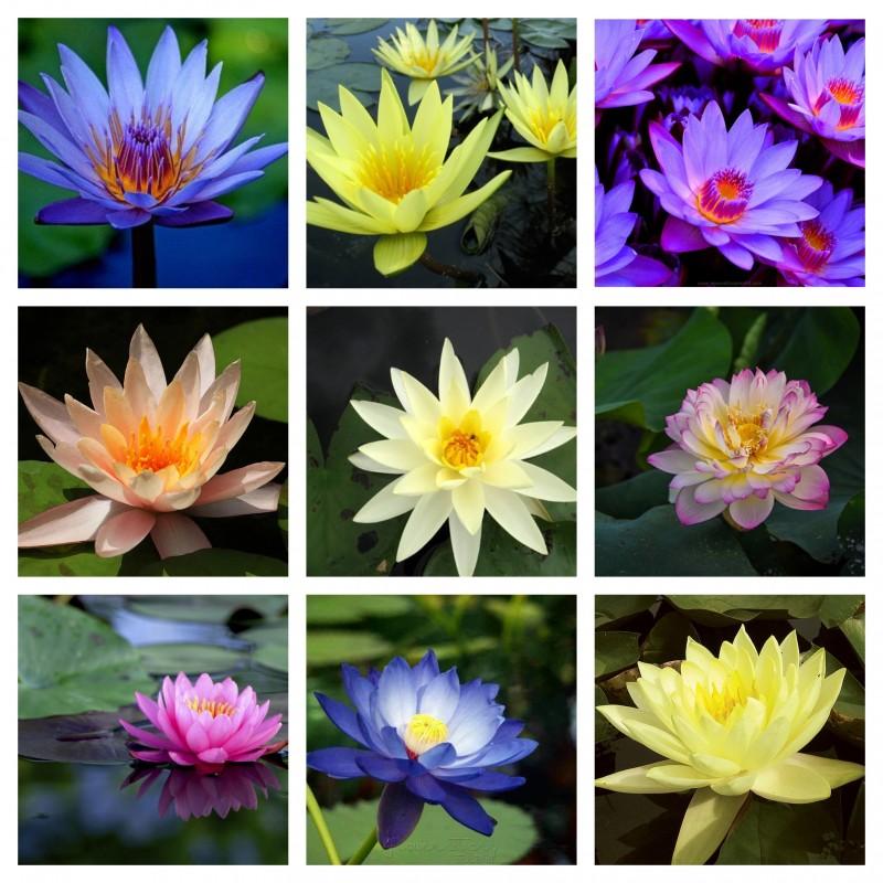 Lotus Ινδικός λωτός σπόρων μικτά χρώματα (Nelumbo nucifera) 2.55 - 1
