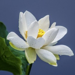 Lotus Ινδικός λωτός σπόρων μικτά χρώματα (Nelumbo nucifera) 2.55 - 6