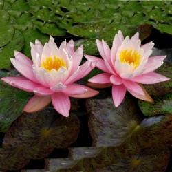 Lotus Ινδικός λωτός σπόρων μικτά χρώματα (Nelumbo nucifera) 2.55 - 9