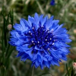 Razlicak Seme – Jestivo Cvece (Centaurea cyanus) 1.95 - 1