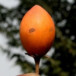 Spanish Cherry Seeds 2.95 - 1