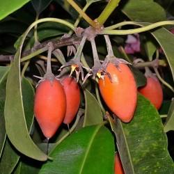 Semillas de Bakula 2.95 - 2