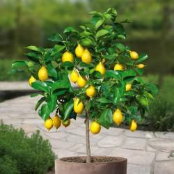 Sementes de Limão - limão-siciliano - limão-verdadeiro 1.95 - 2