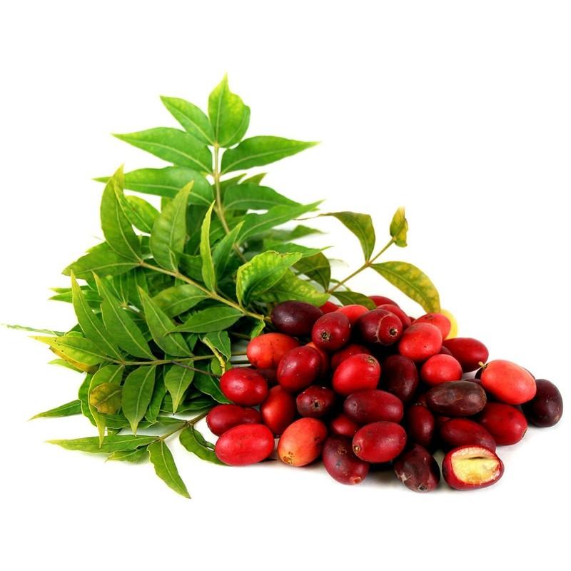 Kaffir Plum - South African Plum Seeds (Harpephyllum caffrum) 3.95 - 1