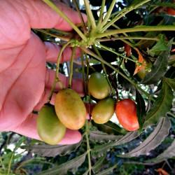 Semillas de Ciruelo de los Cafres (Harpephyllum caffrum) 3.95 - 2