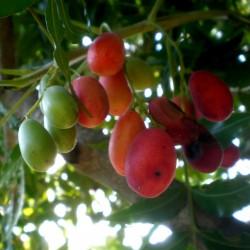 Semillas de Ciruelo de los Cafres (Harpephyllum caffrum) 3.95 - 3