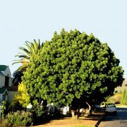 Kaffir Plum - South African Plum Seeds (Harpephyllum caffrum) 3.95 - 4