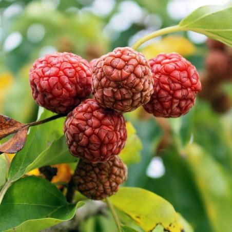 Chinese mulberry - Che Fruit Seeds (Cudrania tricuspidata) 2.95 - 2
