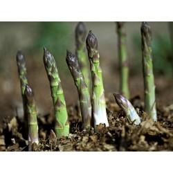Spargel Samen - Asparagus officinalis 1.65 - 3