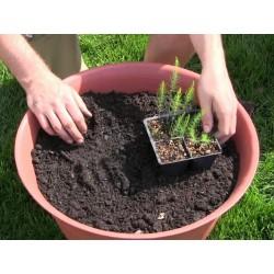 Semi Di Asparagus Officinalis 1.65 - 4