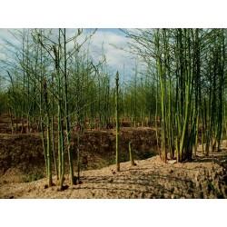 Spargel Samen - Asparagus officinalis 1.65 - 5