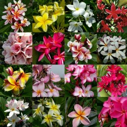 """Sementes de Plumeria """"Ornamental mix"""" 2.05 - 1"""