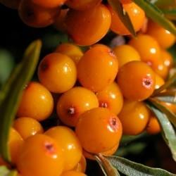 Σπόροι Ιπποφαές (hippophae rhamnoides)
