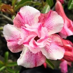 """Semi di Rosa del Deserto """"Angle"""" 1.95 - 2"""