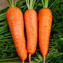 Flakkee Karottensamen 2.049999 - 1