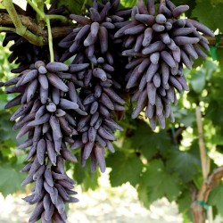 Witch Finger Grape Seeds 2.5 - 2