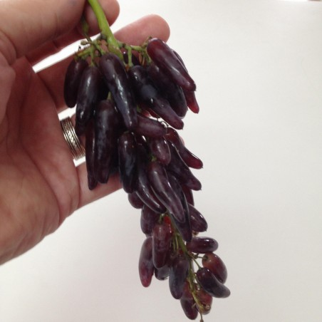 Witch Finger Grape Seeds 2.5 - 4