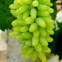 Finger Grape Seeds 2.25 - 7